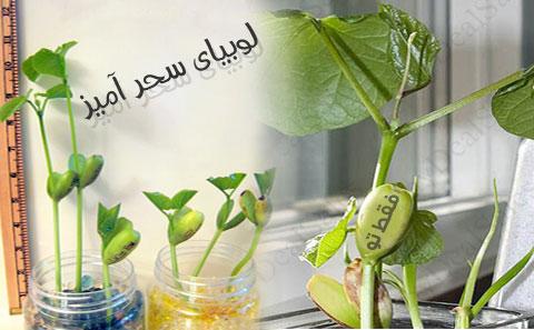 لوبیای سحرآمیز فارسی + گلدان