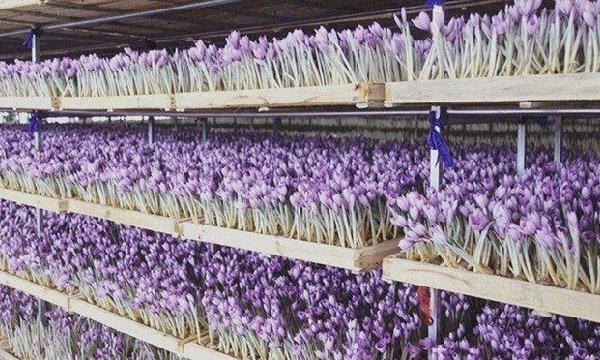 راهنمای احداث و بهره برداری از گلخانه زعفران به روش آیروپونیک(بدون آب و خاک)